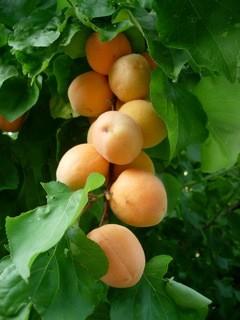 Apricotes for tea