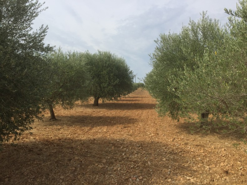 A typical olive grove