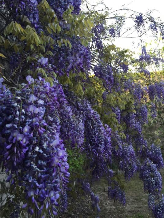 Wisteria in lower garden