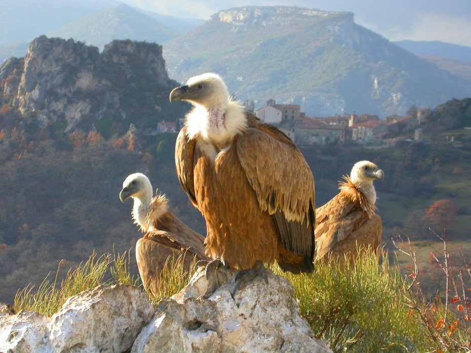 Vultures in the Gorges