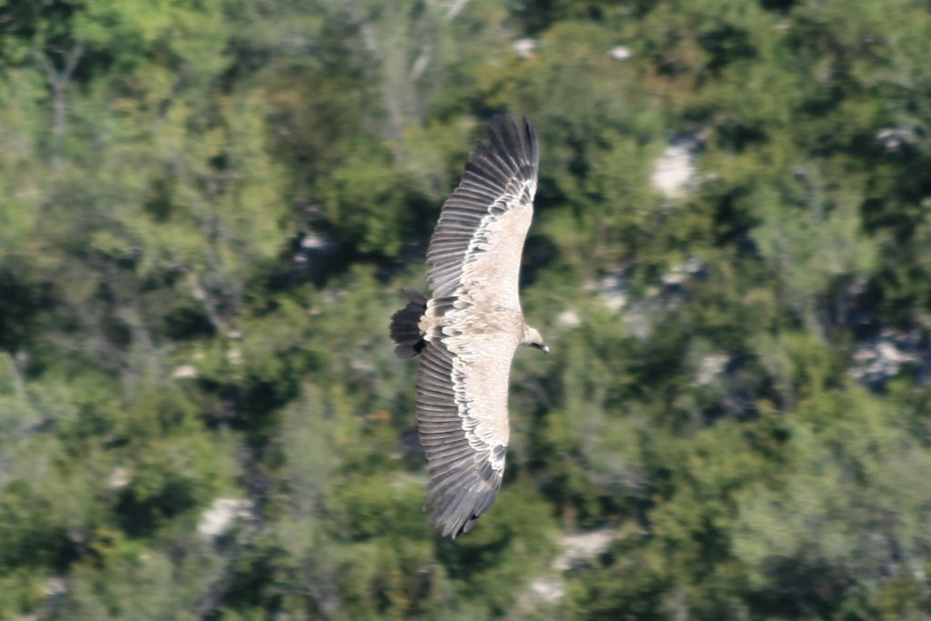 Eagle on the wing