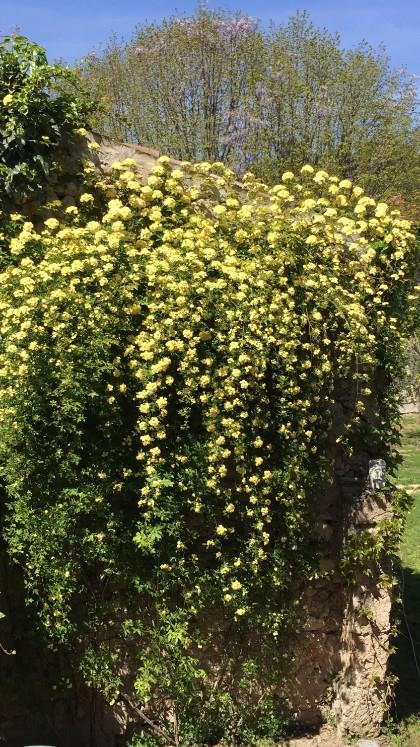 Yellow Evergreen Rose in courtyard